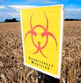Monsanto Dramatically Increasing Pressure on Mexico � Wins Permits to Plant GMO Corn