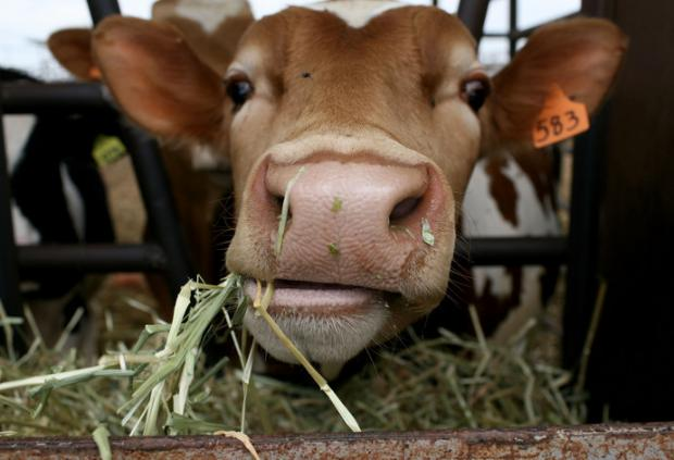 Syngenta Charged for Covering up Livestock Deaths from GM Corn
