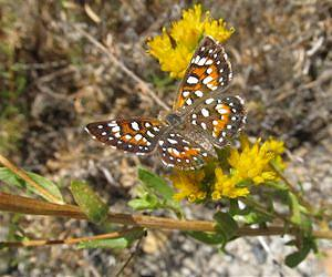 Herbicides a Surprise Threat to Butterfly Populations