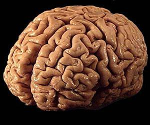 Human Brain Evolution Cracked