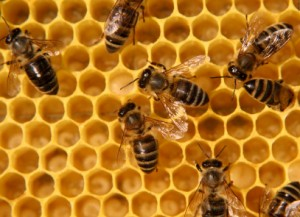Illinois Illegally Seizes Bees Resistant to Roundup; Kills Remaining Queens