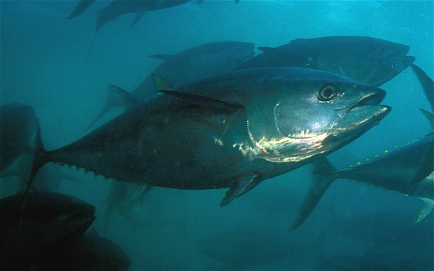Bluefin tuna caught off California contains radiation from Japan's Fukushima plant