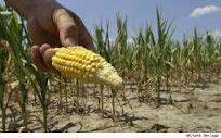 Rising Corn Prices and Your Grocery Bill