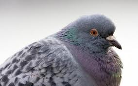 New study unravels pigeons' GPS, bird's magnetic sense