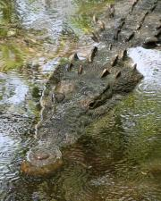 The largest known true crocodile identified