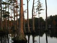Cypress Trees Saw Rupturing of Earth's Supercontinents