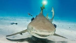 Beamed-up lemon shark shows research promise
