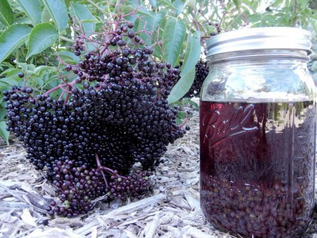 How to Make Elderberry Tincture and Elderberry Cough Syrup