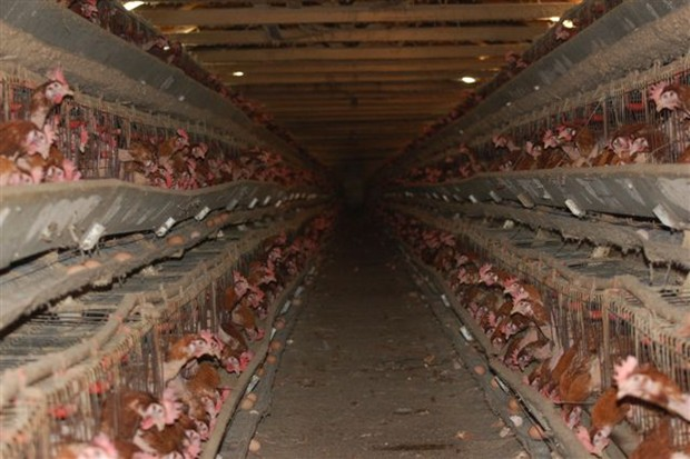 animal abuse chicken A chicken farm in ontario faces chilling allegations of animal cruelty as  prosecutors announced dozens of charges were filed on tuesday.