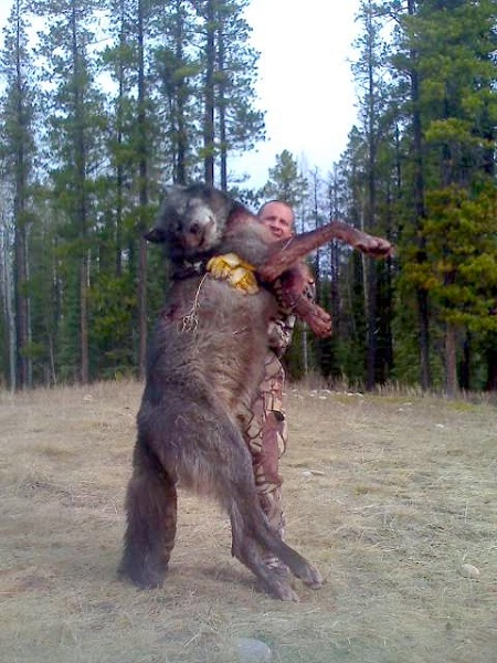 Giant idaho wolves look at the size of these wolves freedoms