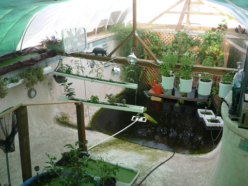 The garden pool a subterranean aquaponics greenhouse for Raising tilapia in a pool