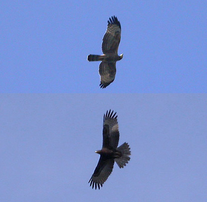 Buzzards flying