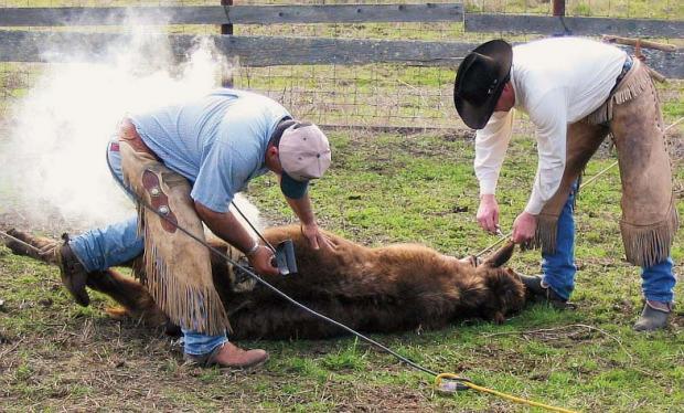 171-0329133118-cattle-branding-Electric_cattle_branding_and_earmarking.jpg